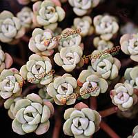 10шт очиток едкий spathulifolium сочных семена растений сада Crassulaceae многолетние травы
