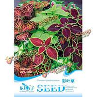 Колеус Радуга смесь домашнем саду листва растения цветочные семена