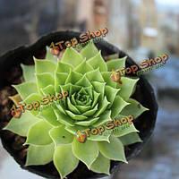 40шт sempervivum tectorum семена суккулентных растений горшечная