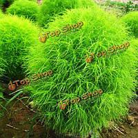 100 кохия scoparia на травы растения семена