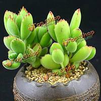 150шт семядоли когтя сад семена суккулентных растений горшечная