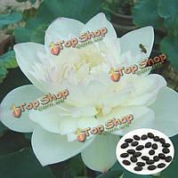 10шт белый шар семена лотоса