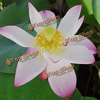 10шт белые чаша лотоса Семена Сад водный Растение