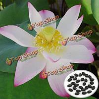 10шт flaммule чаша лотоса Семена Сад водный Растение