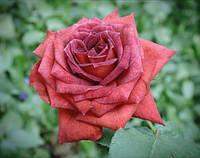 Роза флорибунда Джоселин/Jocelyn