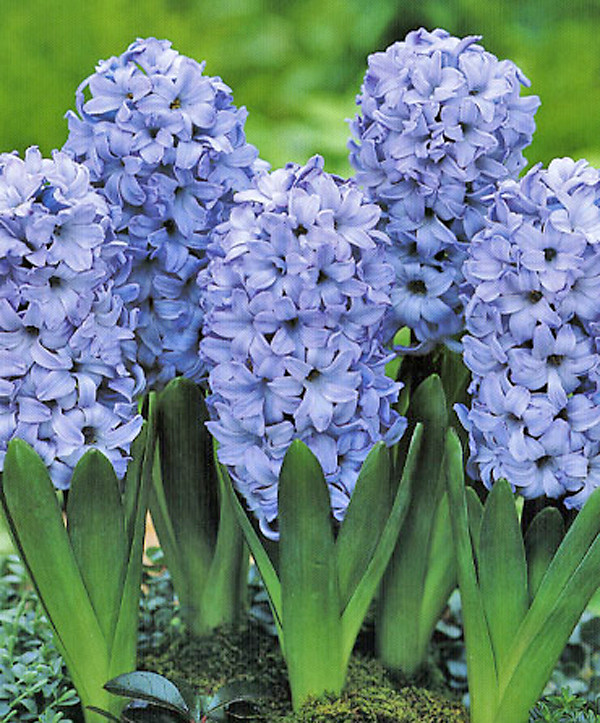 Гіацинт Delft Blue 14/15 2 шт