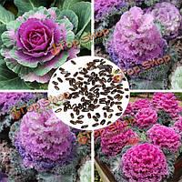 100шт голубой карлик свернулся Кале органических семян сад семена овощных культур
