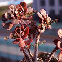 40шт echeveria mahogny Роуз семена суккулентных растений горшечная