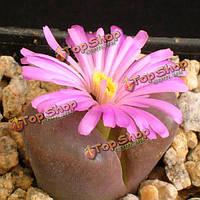 10шт ophthalmophyllum praesectum сочных семена растений сада Aizoaceae многолетних трав