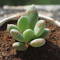 10шт pachyphytum oviferum суккулентов семена сада многолетние травы