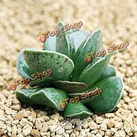 60шт adromischus maculatus сад семена суккулентных растений горшечная