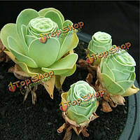 150шт greenovia сад семена суккулентных растений горшечная