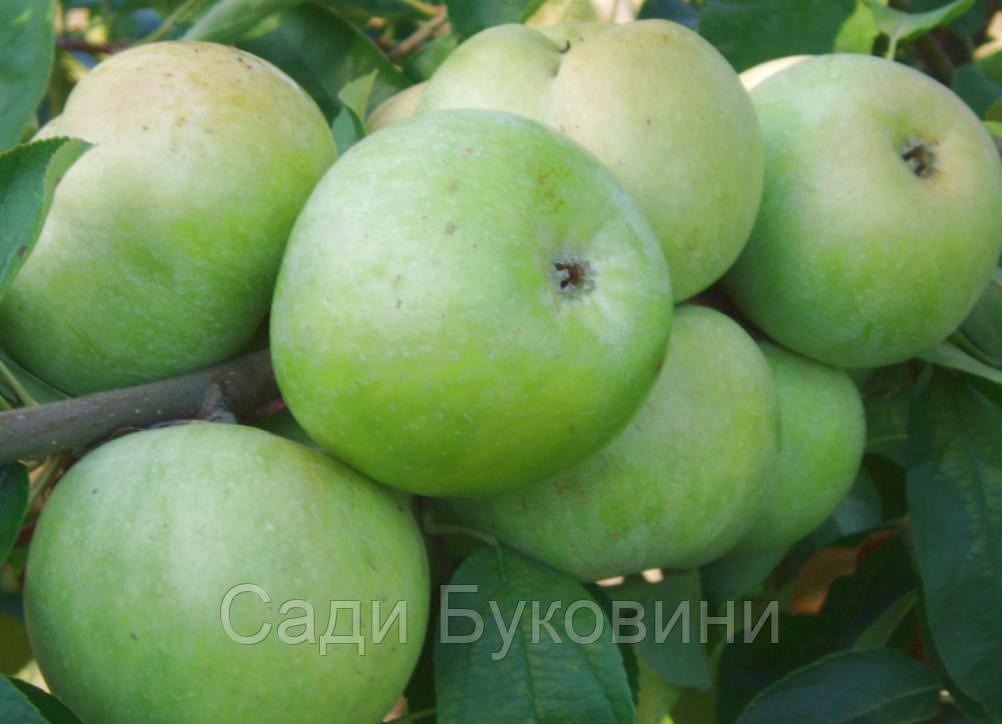 Саженцы яблони Семиренко
