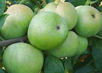 Саженцы яблони Семиренко, фото 1