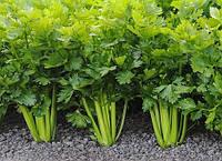 Выращивание листового сельдерея