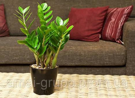 Замиокулькас – живое растение с восковыми листьями