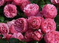 Особенности роз Флорибунда