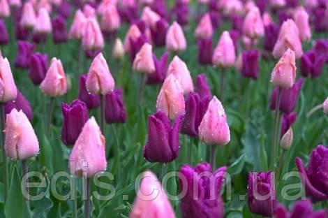 Фото Клумба из розовых и фиолетовых тюльпанов