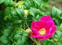 Как привить розы на шиповник