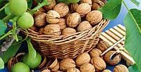 Саженцы грецкого ореха Идеал (двухлетний), фото 1