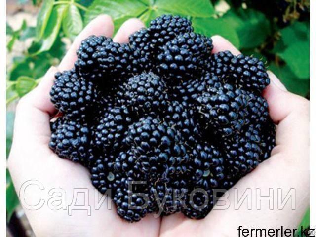 Саженцы черной малины (сорт Кумберланд)