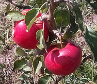 Яблоня Аромат де Варе. (Б7-35) Летний сорт. (в)  , фото 1