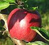 Яблоня Рихард. (Б7-35) Зимний сорт.