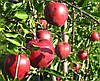 Яблоня Рихард. (Р-14) Зимний сорт.