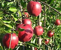 Яблоня Рихард. (Р-14) Зимний сорт.  , фото 1