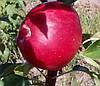 Саженцы яблони Ред Фри. (54-118) Летний сорт. (вв/кр)