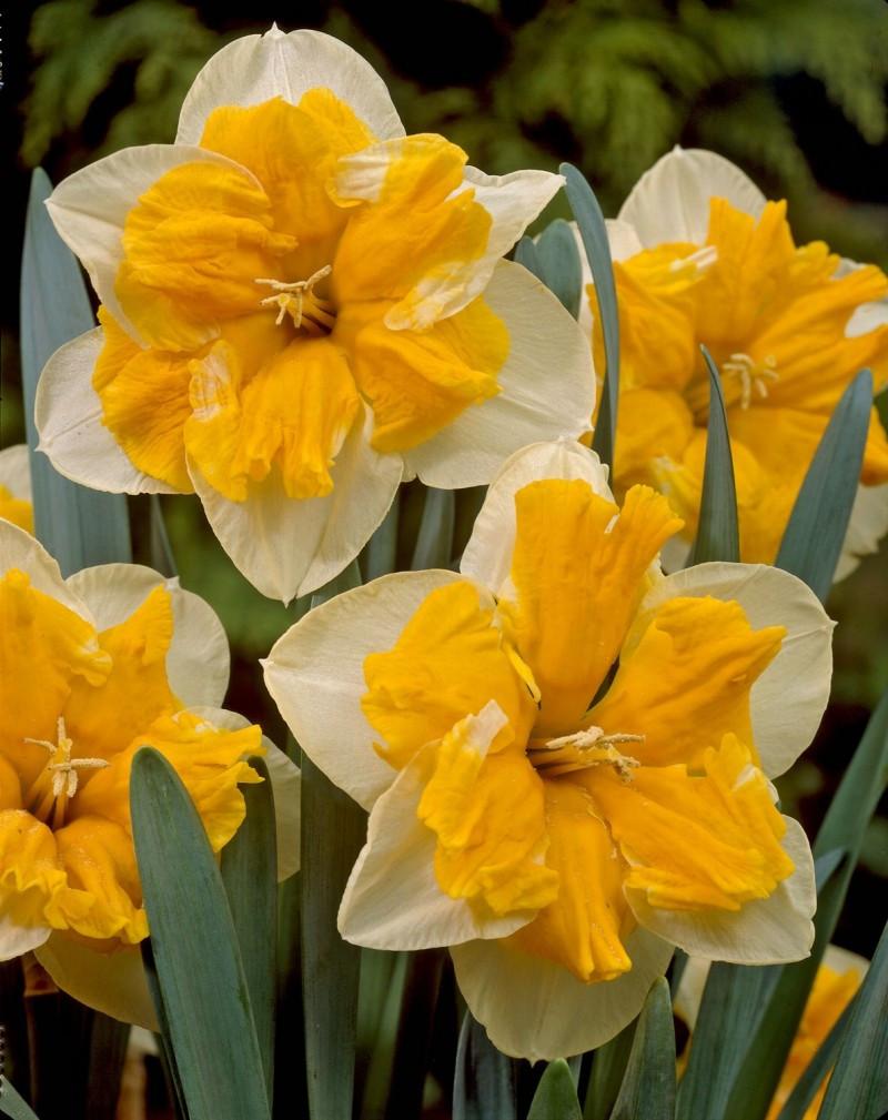 Нарцисс крупноцветковый Orangery 2 луковицы