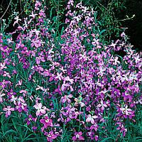 Семена цветов Матиолла