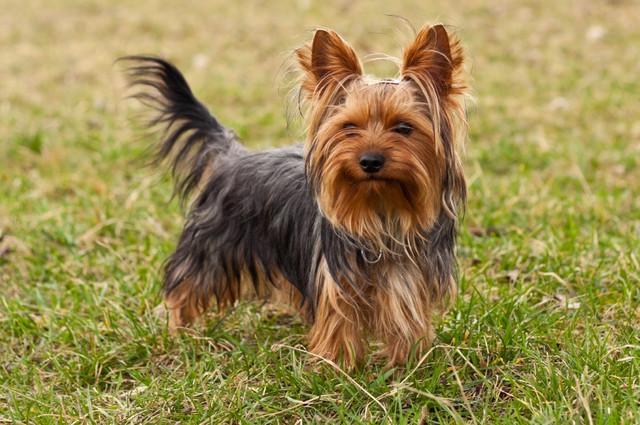 Корм для собак породы йоркширский терьер Royal Canin Yorkshire Terrier