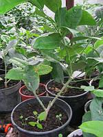 Лимон. Живые комнатные плодоносящее тропические растения.