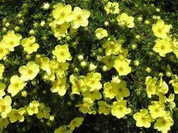Лапчатка желтая Кобольт