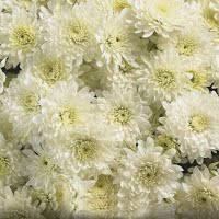 Хризантема Avalon Cream d14