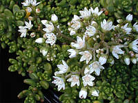 Седум(очиток) Белый (лист коричневый), фото 1