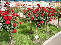 Штамбовая роза Красная