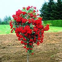 Штамбовая роза Красная (плакучей формы)