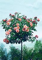 Штамбовая роза Оранжевая