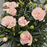 Lillitop Lavander Pink