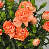 Lillipot Orange Bicolour