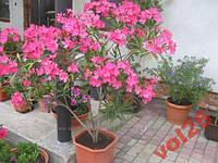 Итальян.сорт цветение с мая по заморозки
