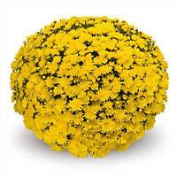 Хризантема Elda Yellow d23