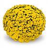 Хризантема Elda Yellow d14