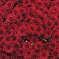 Хризантема  Lariva Red d23