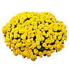 Хризантема Matina Yellow d23