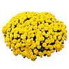 Хризантема Matina Yellow d14