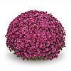 Хризантема Staviski Dark Pink d14