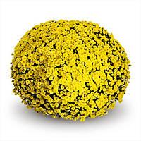 Хризантема Staviski Yellow d14